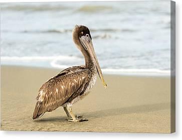 Pelican Canvas Print by Marek Poplawski