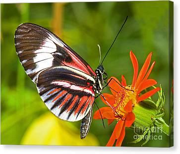 Piano Key Butterfly Canvas Print by Millard H Sharp