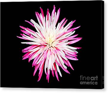 Pink Chrysanthemum Flower Isolated On Black Background. Macro  Canvas Print