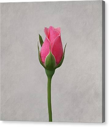 Pink Rosebud Canvas Print by Sandy Keeton