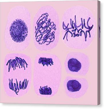 Plant Cell Mitosis Canvas Print by Steve Gschmeissner
