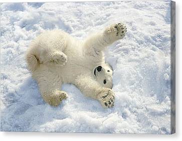 Polar Bear Cub Playing In Snow Alaska Canvas Print by Mark Newman