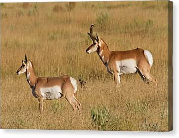 Pronghorn (antilocapra Americana Canvas Print by Larry Ditto