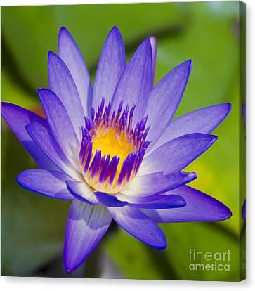 Panama Pacific Water Lily Canvas Print - Pupukea Garden Breeze  by Sharon Mau