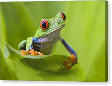 Red-eyed Tree Frog Costa Rica Canvas Print