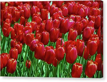 Canvas Print featuring the photograph Red Tulips  by Allen Beatty