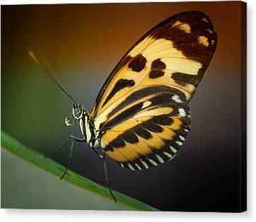 Resting Butterfly Canvas Print by Zoe Ferrie