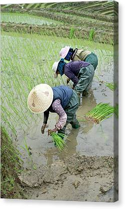 Working Women Canvas Print - Rice Cultivation In Yunnan Province by Tony Camacho