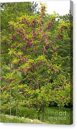 Rose Acacia Robinia Hispida Canvas Print by Bob Gibbons