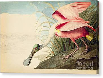 Roseate Spoonbill  Canvas Print by Celestial Images