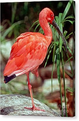 Scarlet Ibis Canvas Print by Millard H. Sharp