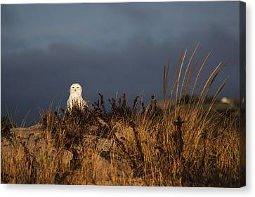 Snowy Owl Hampton Bays New York Canvas Print by Bob Savage