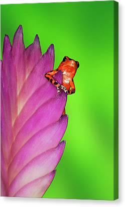 Bromeliad Canvas Print - South America, Panama by Jaynes Gallery