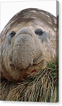 Southern Elephant Seal (mirounga Leonina Canvas Print by Martin Zwick