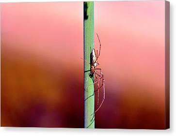 Spider In The Reeds  Canvas Print by Tommytechno Sweden