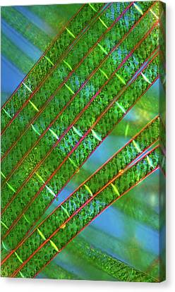 Spirogyra Algae Canvas Print by Marek Mis