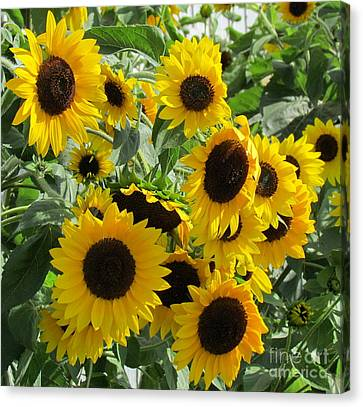 Sunflower Field Canvas Print by France Laliberte