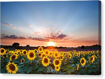 Harvest Canvas Print - Sunflower Summer Sunset Landscape With Blue Skies by Matthew Gibson