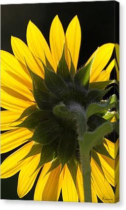 Sunshine Canvas Print by Michael Friedman
