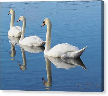 3 Swans A-swimming Canvas Print