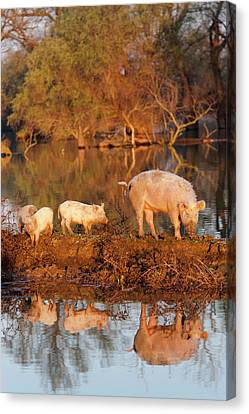 Flooding Canvas Print - The Domestic Pigs Of Maliuc Often Roam by Martin Zwick