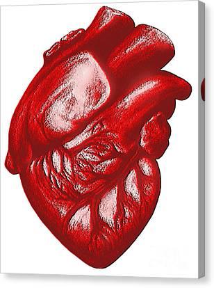 The Human Heart Canvas Print by Dennis Potokar