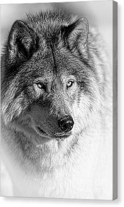 Timber Wolf Portrait Canvas Print by Michael Cummings