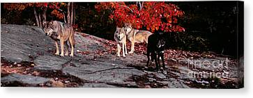 Timber Wolves Under A Red Maple Tree - Pano Canvas Print by Les Palenik