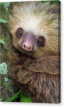 Two-toed Sloth Choloepus Didactylus Canvas Print