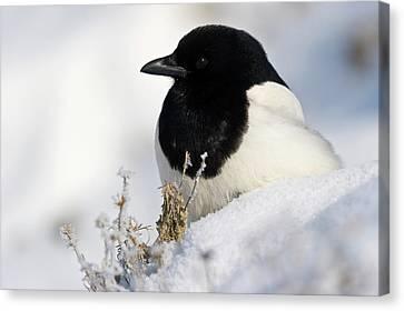 Black-billed Magpie Canvas Print - Untitled by Dennis Fast - Vwpics