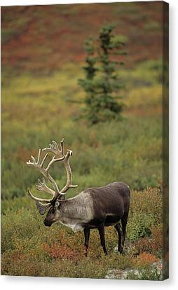 Usa, Alaska, Bull Caribou, Denali Canvas Print by Gerry Reynolds