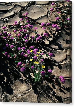 Usa, California, Anza Borrego Desert Canvas Print by Christopher Talbot Frank