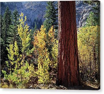 Populus Tremuloides Canvas Print - Usa, California, Sierra Nevada by Christopher Talbot Frank