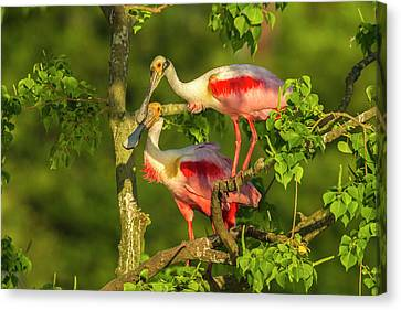 Spoonbill Canvas Print - Usa, Louisiana, Jefferson Island by Jaynes Gallery