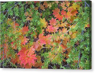 Usa, Oregon, Rogue River National Forest Canvas Print