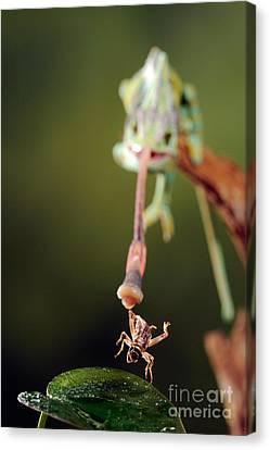 Highspeed Canvas Print - Veiled Chameleon Catches Cricket by Scott Linstead