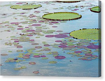 Victoria Amazonica Lily Pads Canvas Print