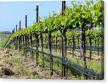 Wine Canvas Print - Vineyard In Spring by Brandon Bourdages