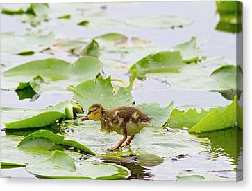 Wa, Juanita Bay Wetland, Mallard Duck Canvas Print by Jamie and Judy Wild
