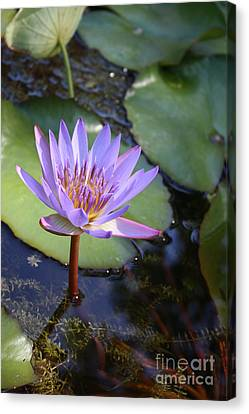Blue Water Lily Canvas Print by Irina Davis