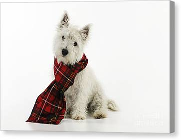 West Highland White Terrier Puppy Canvas Print by John Daniels