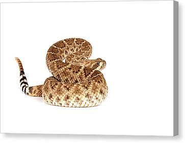 Western Diamondback Rattlesnake Canvas Print by John Bell