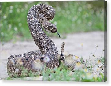 Western Diamondback Rattlesnake Canvas Print by Larry Ditto