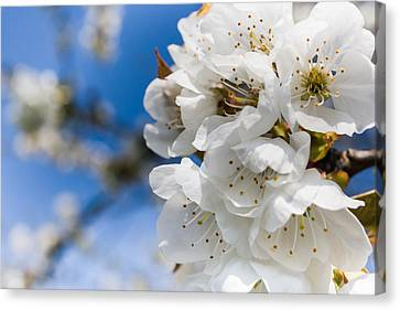 White Cherry Blossoms Blooming In The Springtime Canvas Print by Nila Newsom