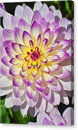 Who Dun It Dahlia Flower Canvas Print