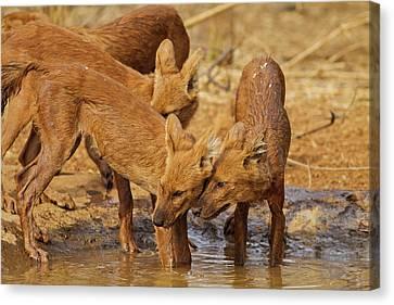Wild Dogs In The Waterhole, Tadoba Canvas Print by Jagdeep Rajput