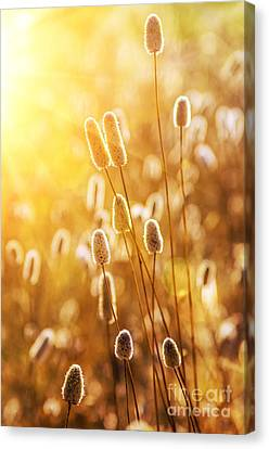 Wild Spikes Canvas Print by Carlos Caetano