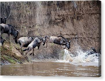 Gnu Canvas Print - Wildebeests Crossing A River, Mara by Panoramic Images