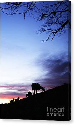 Winter Lambs And Ewes Sunrise Canvas Print by Thomas R Fletcher