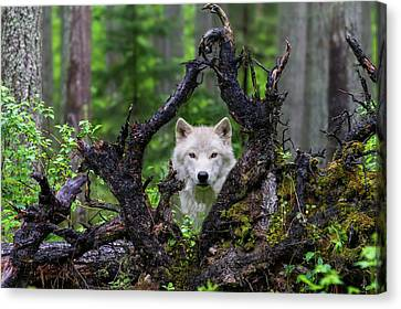 Wolf Canvas Print by Mike Centioli